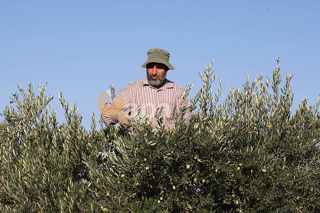 A Palestinian man harvests olives during harvest season in the West bank city of Nablus on Oct. 9, 2014. Farmers are harvesting their olives from mid-October until the start of November this year. Photo by Nedal Eshtayah