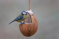 Blaumeise, selbstgemachtes Vogelfutter in einer Kokosnuß, Kokosnuss, Vogelfütterung, Fütterung, Fettfuttermischung, Fettfutter, Meisenknödel, Blau-Meise, Meise, Meisen, Cyanistes caeruleus, Parus caeruleus, blue tit, bird's feeding, La Mésange bleue