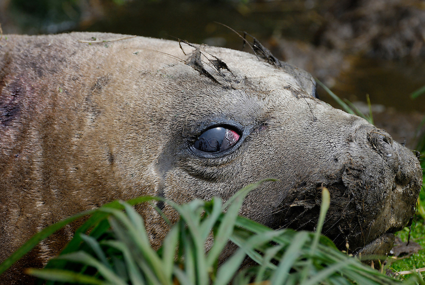 Here's mud in your eye - Female Elephant Seal, Macquarie Island