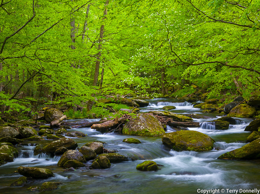 Great Smoky Mountains National Park, TN/NC<br /> Spring branches hang above the flowing waters of Middle Prong Little River in Spring