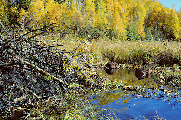 American Beaver feeding near lodge.  Fall