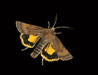 Least Yellow Underwing - Noctua interjecta