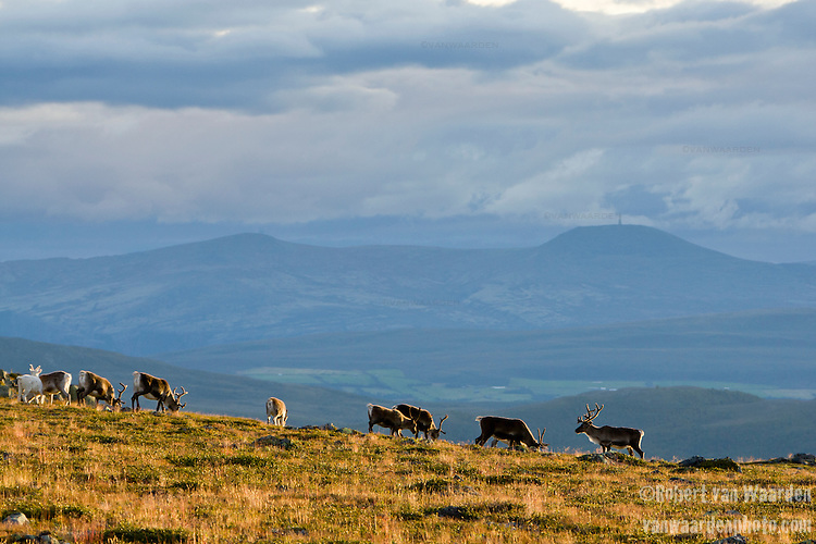 Early morning light illuminates reindeer in the mountains of Norway's Jotunheimen National Park.