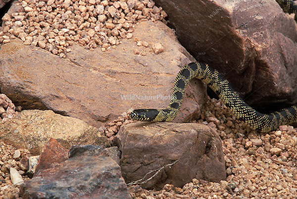 Common Kingsnake, Lampropeltis getula