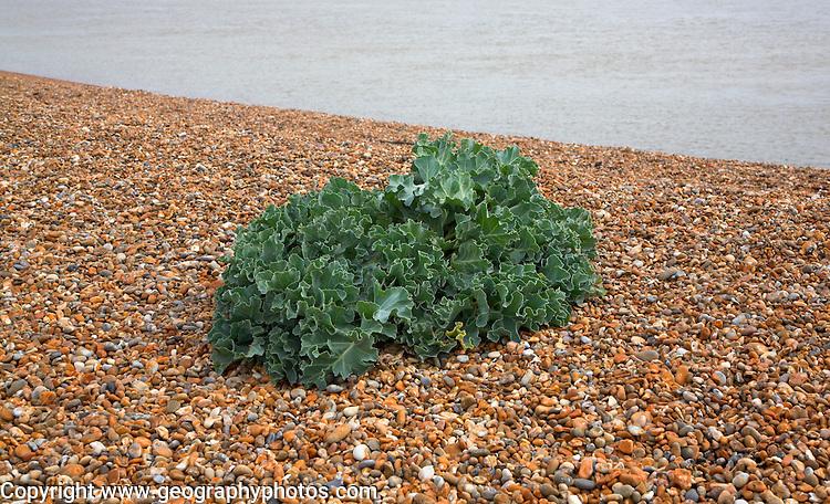 Sea Kale, crambe maritima, growing in coastal beach environment, Shingle Street, Suffolk, England