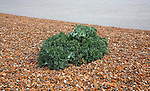Sea Kale, crambe maritima, growing in coastal beach environment, Shingle Street, Suffolk, England
