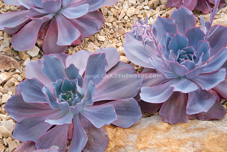 Succulent plant Echeveria 'Afterglow' aka 'After Glow'