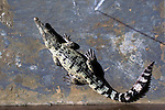 Crocodiles farmed for skin on a  farm in West Papua New Guinea...