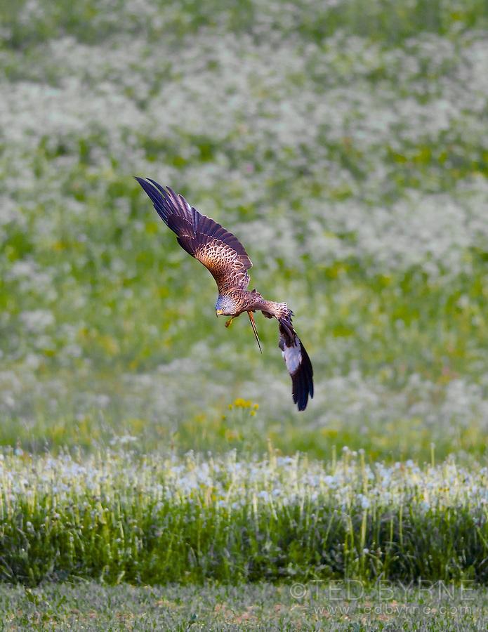 Hawk diving over a summer field