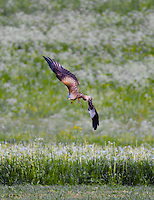 Hawk diving over a summer field