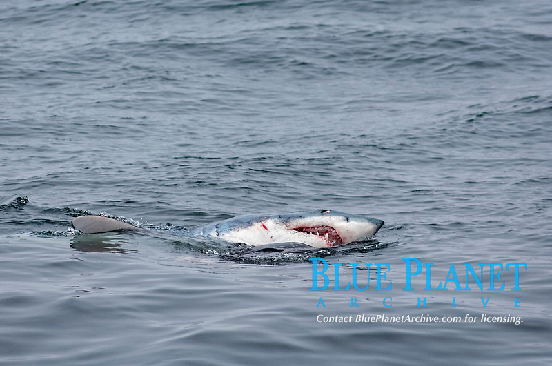 shortfin mako shark, Isurus oxyrinchus Rafinesque, 1809, eating harbor seal, Phoca vitulina, shark's head above water surface, teeth exposed, eye open, seal is next to shark in water, shark's mouth open wide with teeth showing and blood, tip of pectoral fin above water surface, Monterey Bay National Marine Sanctuary, California, USA, East Pacific Ocean