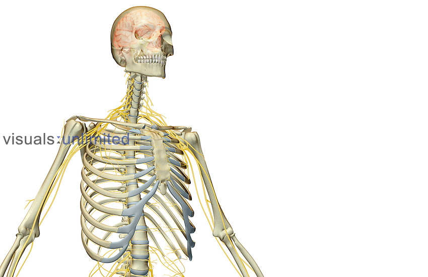 An anterolateral view (right side) of the nerve supply of the upper body. Royalty Free
