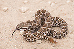 San Diego, California; a juvenile Western Rattlesnake coiled in a defensive position with its tongue out, smelling the air, while resting on a dirt path