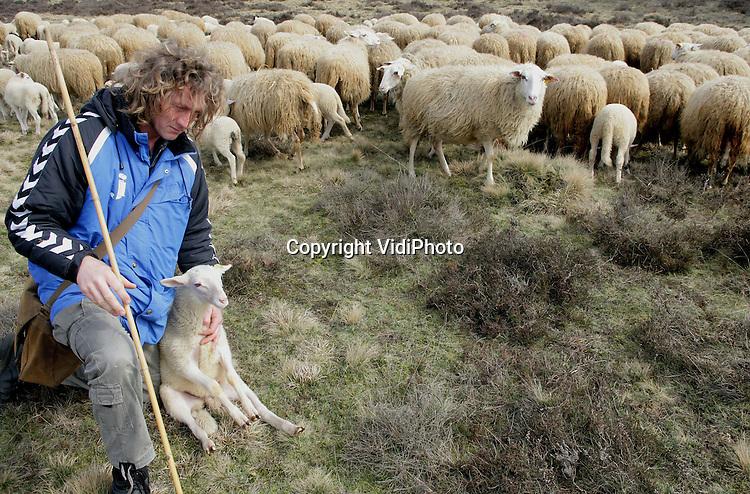 Foto: VidiPhoto..EDE - De schaapskudde van Henk van de Brandhof op de Ginkelse hei bij Ede graast op de hei om flink aan te sterken. Veel dieren zijn ziek. Inmiddels zijn er al 20 lammetjes gestorven. Oorzaak is vermoedelijk het kuilvoer dat de dieren dit jaar voor het eerst hebben gekregen. Dat blijkt te eiwitrijk te zijn. Vooral de jonge lammetjes kunnen daar niet tegen.