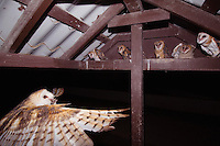 Barn Owl, Tyto alba, adult bringing mouse prey to young in nest, Willacy County, Rio Grande Valley, Texas, USA, May 2007