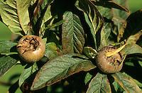 Echte Mispel, Früchte, Mespilus germanica, Medlar