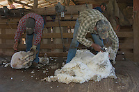Worker shearing Sheep, Hill Country, Texas, USA, April 2007