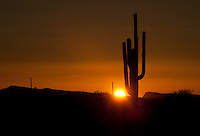 Saguaro cacti in Southern Arizona.