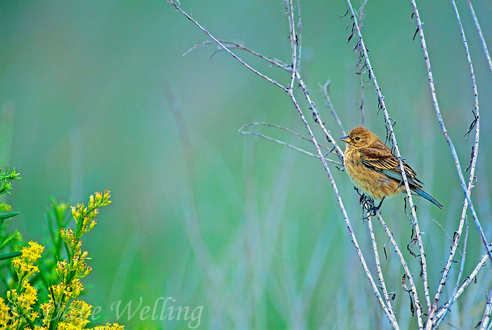510370030 a wild juvenile indigo bunting passerina cyanea perches on a dead stick on south padre island texas