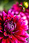 Dahlia - Shockwave, Swan Island Dahlias, Oregon