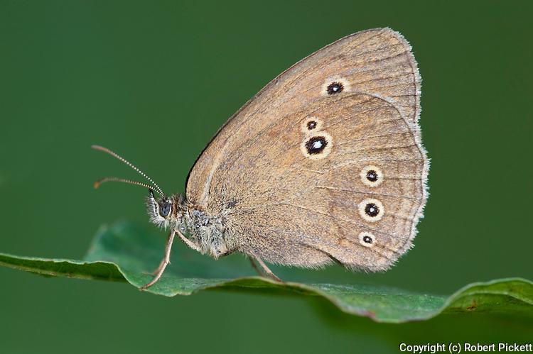 Ringlet Butterfly, Aphantopus hyperantus, Poienile Narcise, Brasov, Transylvania, Romania, Romania