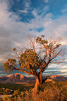799800175 a twisted juniper frames the back side of west temple in zion national park below summer storm clouds as seen from smithsonian national scenic byway near hurricane utah united states