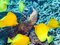 green sea turtle, Chelonia mydas, being cleaned by yellow tang, Zebrasoma flavescens, Puako, Big Island, Hawaii, USA, Pacific Ocean