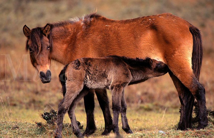 Mare with colt.