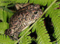 1108-0803  Southern Toad, Anaxyrus terrestris, formerly Bufo terrestris © David Kuhn/Dwight Kuhn Photography.