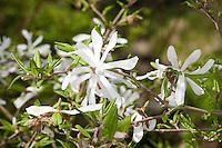 Stern-Magnolie, Sternmagnolie, Magnolia stellata, Magnolie, Magnolien, Magnolienbaum, magnolia, star magnolia