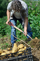 Harvesting the last Potatoes