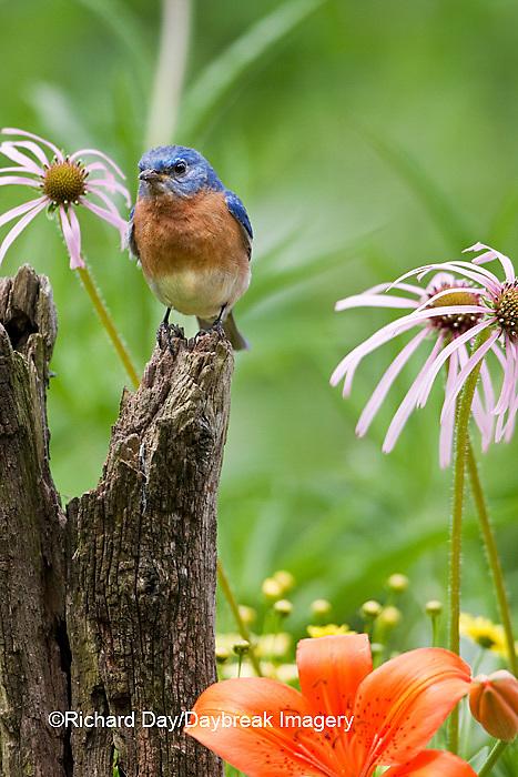 01377-17214 Eastern Bluebird (Sialia sialis) male on fence post near flower garden,  Marion Co., IL
