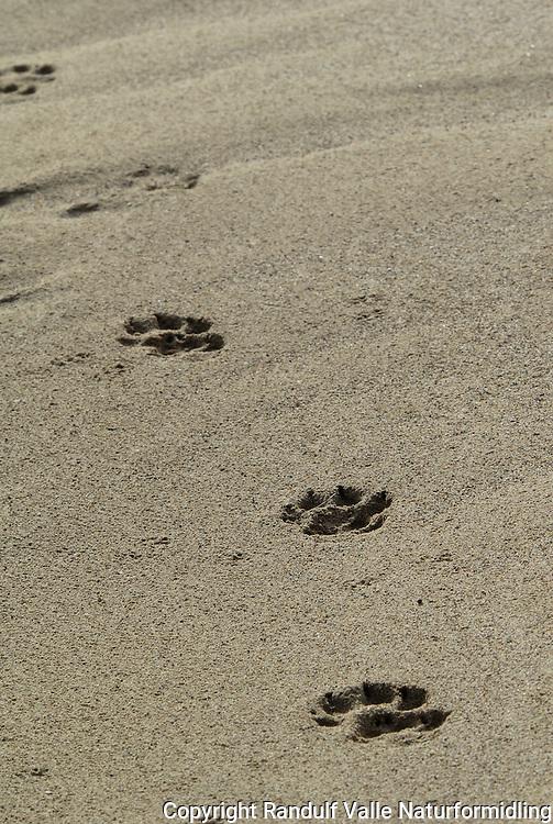 Ulvespor i sand. ---- Wolf tracks in sand.