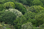 Deciduous forest canopy, Tennessee Valley, Mill Valley, Bay Area, California