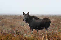 Moose Calf, Grand Teton National Park