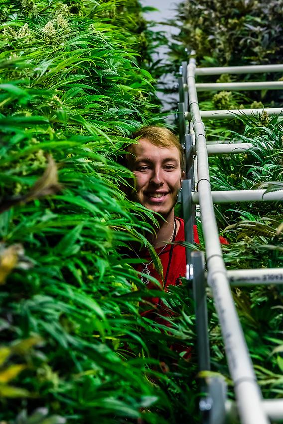 Flowering marijuana grow room, Sticky Buds, Denver, Colorado USA.