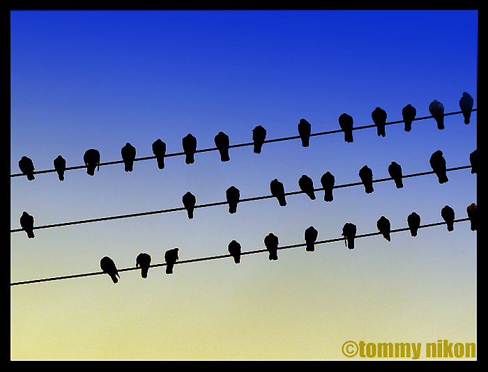 Birds on electrical lines