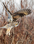 Long-eared owl (Asio otus), Canada