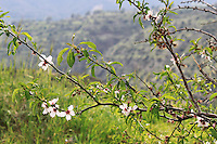 Stock image of white plum blossoms flowers branch overlooking Troodos mountain range in the background.