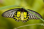The Commun Birdwing ( troides helena cerberus )