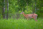 White-tailed doe with her ears turned forward listening to something in the distance.