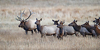 Rocky Mountain Elk (Cervus canadensis nelsoni), adult bull male with his harem of females and juveniles in Rocky Mountain National Park, Colorado.