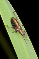 Schilfkäfer, Rohrkäfer, Schilf-Käfer, Rohr-Käfer, Donacia spec., Danacia spec., reed beetle