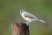 Tufted Titmouse - Baeolophus bicolor - Adult