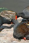 """Three Dusky Moorhens preening, Mt Coot-tha Botanic Gardens, Brisbane, Australia.  //  Dusky Moorhen - Rallidae: Gallinula tenebrosa. Length to 40cm, wingspan to 65cm; weight to 350g.  Occurs mainly in freshwater lakes, ponds, billabongs in Australia, New Guinea and Indonesia. Juvenile plumage is browner than that of adults. Note the characteristic white under-tail coverts of the sitting bird on the left. Feeds principally on floating and shallow submerged vegetation - algae, water-lily fragments, etc, and a variety of smaller invertebrates. Probably pairs for life, and individual pairs frequently engage in pair-bonding behavoiur, such as preening. Flies well, usually close to water surface, but prefers to swim most of thetime. A vociferous species with loud nasal 'karrak', 'ngairrr"""", etc. Common in suburban parks and wetlands where it builds a large nestout of aquatic vegetation, usually on the shoreline, an emergent rock, or timber.  Defends territory vigourously when breeding with frequent loud squabbling against intruders. IUCN Status: Least Concern.   //  Mt Coot-tha Botanic Gardens - Administered by the Brisbane City Council, and one of the two botanic gardens close to the city centre. Covers 52Ha (115acres) with extensive plantings of exotic species, including the rare Wollemi Pine (Araucariaceae: Wollemia nobilis - IUCN Status: Critically Endangered), a relict survivor from 200 million years ago in southern Gondwanaland. Display gardens include a Japanese Garden, Arid Zone Garden, Bonsai House; as well as the Sir Thomas Brisbane Planetarium, that hosts education displays for schools, and the general public. Much of the gardens still have original forest habitats, and two artificial lakes attract a variety of waterbirds.  //  Dr Eric Lindgren//"""