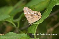 03481-00112 Southern Pearly-Eye (Enodia portlandia) Big Oak Tree State Park Mississippi County, MO