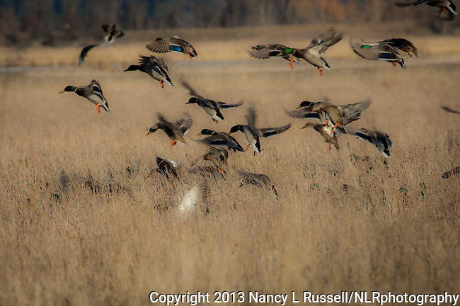 Mallard ducks landing and looking for grain in the fields