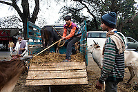 Men load large cows onto a truck at the weekly cattle market that happens in Birohi, a town close to the India-Bangladesh Border, in Nadia district, West Bengal, India, on 19th January, 2012. The larger cows, priced at almost INR 10,000 (USD 190) each are often smuggled across the porous borders by wading across the rivers to be sold at a profit in Bangladesh. Recently, a torture video of a captured cattle smuggler surfaced on the internet, provoking outrage at the high-handedness of the Indian Border Security Force. Photo by Suzanne Lee for The National (online byline: Photo by Szu for The National)
