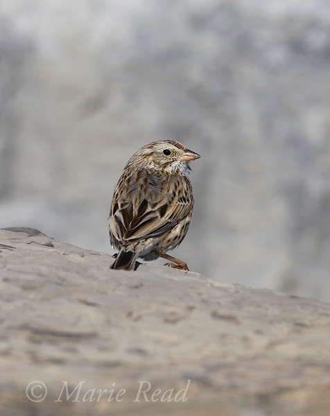 """Ipswich"" Savannah Sparrow (Passerculus sandwichensis), Barnegat Inlet, New Jersey, USA"