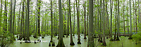 63895-14509 Bald Cypress trees (Taxodium distichum) Heron Pond Little Black Slough Johnson Co. IL